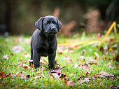 A pure bred black Labrador retriever puppy playing outside in the yard during the fall season.