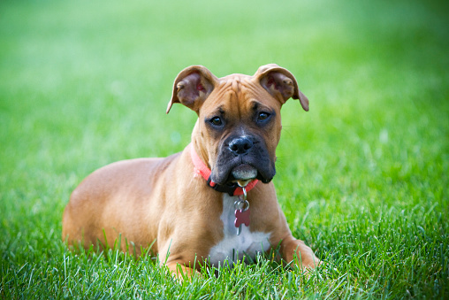 September 19, 2015.  St. Paul, MN. USA.  This is a female Pure Bred AKC Registered Fawn Boxer born on May 19, 2015.  Her name is Daisy.  She has two feet that have white socks on them.  She has a docked tail, and short hair.  This dog has never been bred.  She is 55 pounds and considered a small boxer.