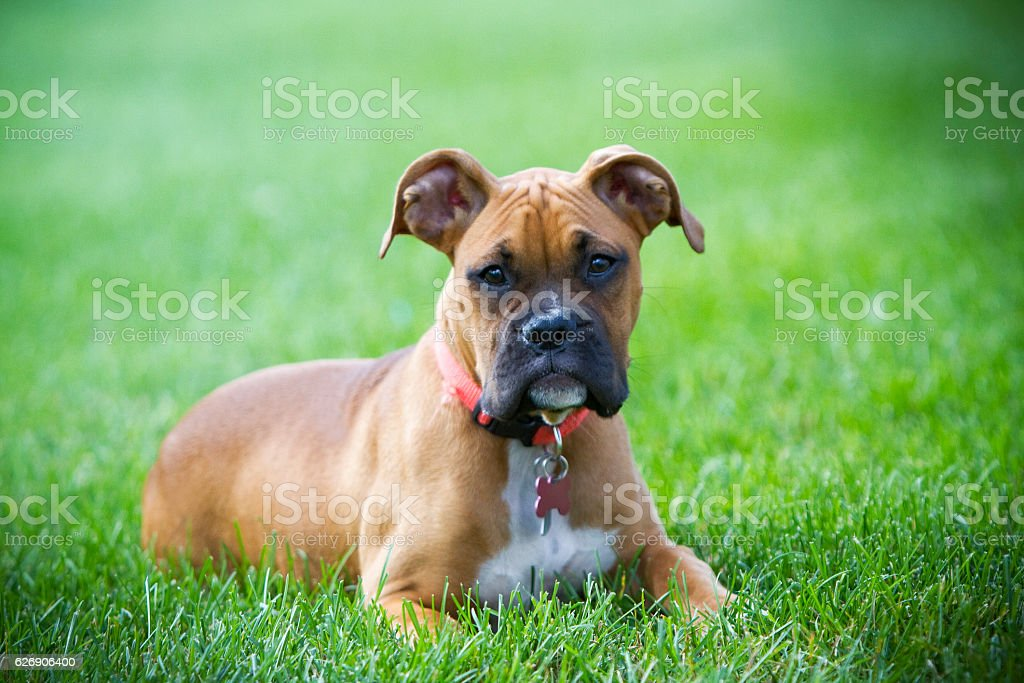 Pure Bred Boxer stock photo
