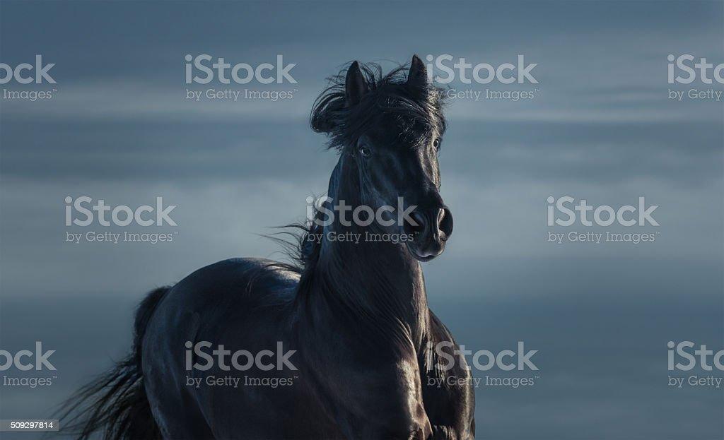 Pure Bred Spanish black stallion - portrait in motion stock photo