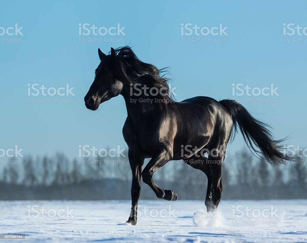 Pure Bred Spanish black stallion trotting on snow meadow stock photo