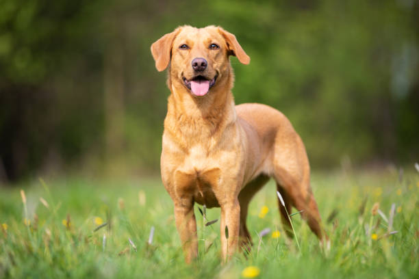 Pure breed Labrador Retriever dog from working line stock photo