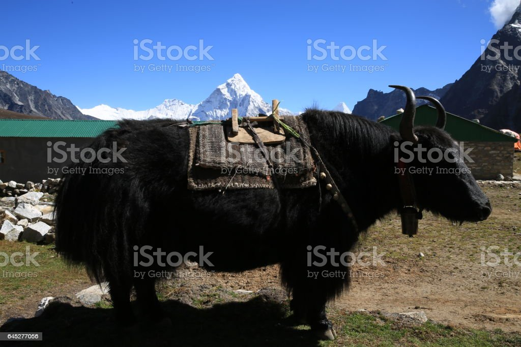 A Pure Breed Yak with Amadablam on the back stock photo