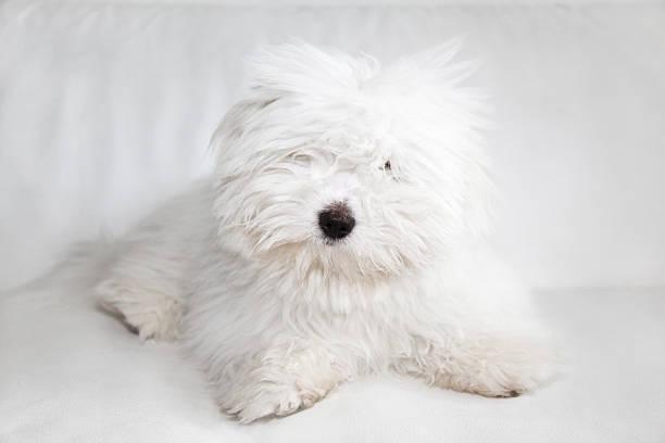 Pure Coton de Tuléar dog stock photo