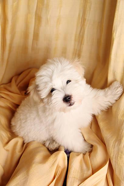 Pure Coton de Tuléar puppy stock photo