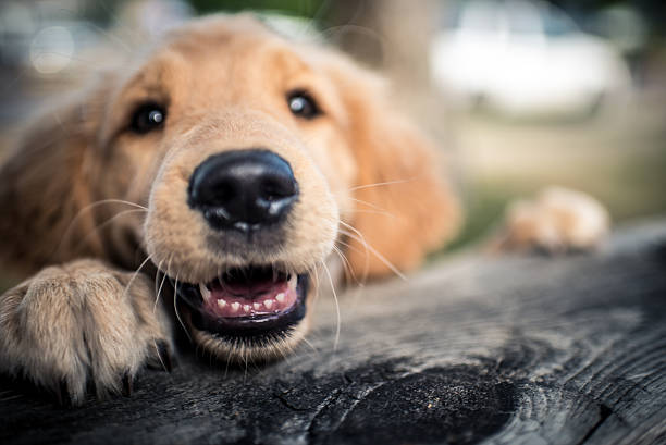 pure happiness and joy - golden retriever stock photos and pictures