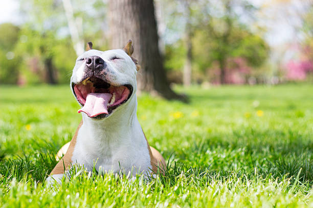 Pure joy Portrait of happy and cute American Staffordshire Terrier animal saliva stock pictures, royalty-free photos & images