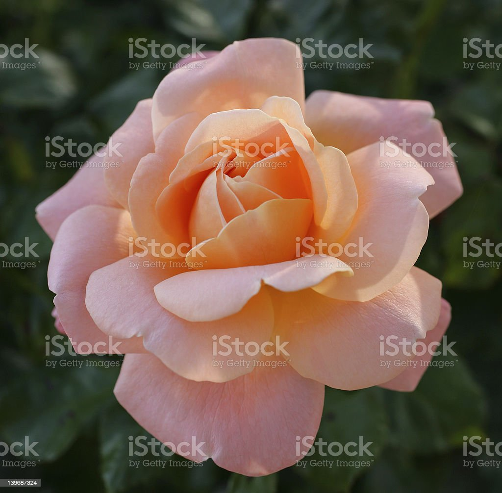 Pure rose stock photo
