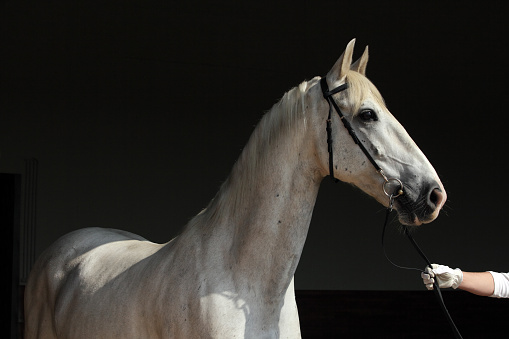 Pure Spanish Horse or PRE, portrait against dark stable background