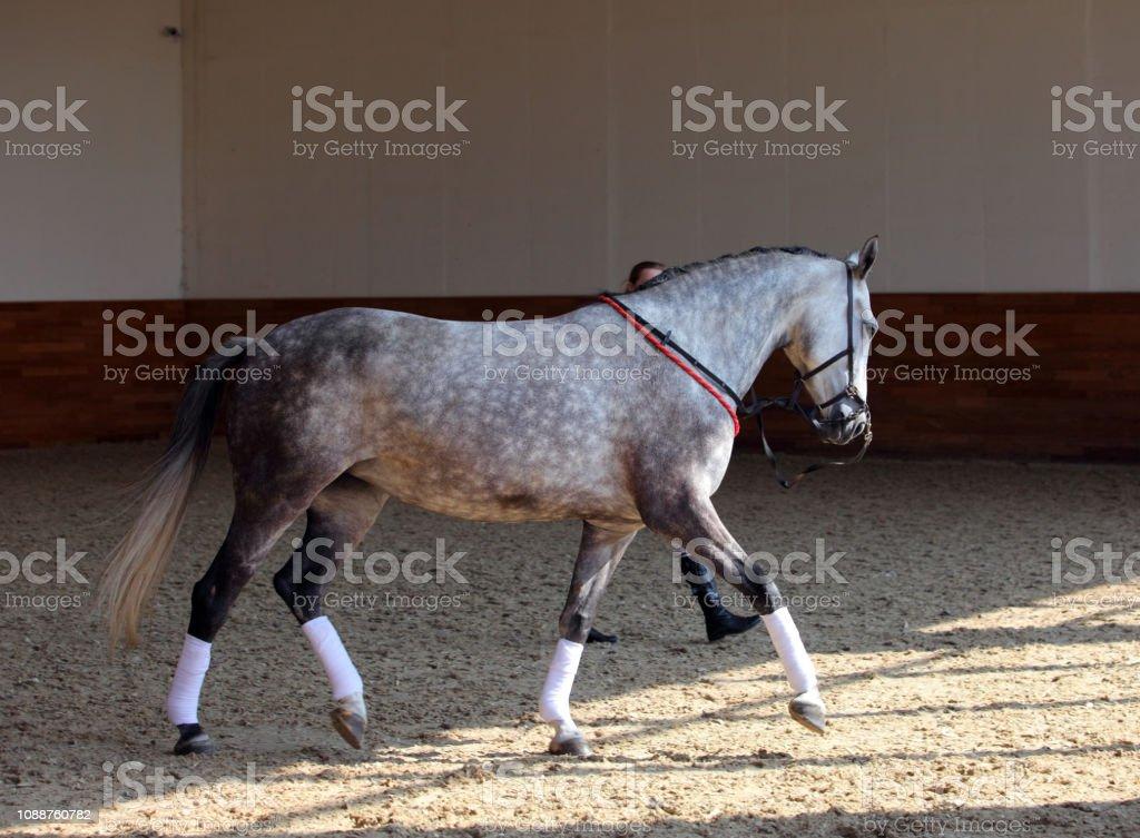 choisir le dernier gamme complète de spécifications obtenir de nouveaux Pure Spanish Horse Or Pre Portrait In Dark Manege Stock ...