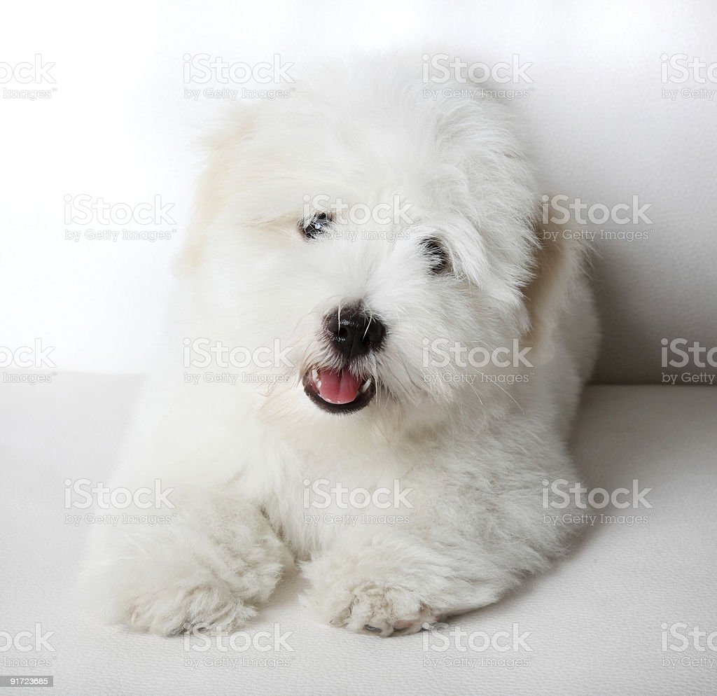 Pure Coton de Tuléar puppy stock photo