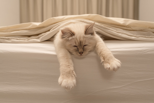 Pure white cat sleeping on white bedding