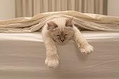 Pure white cat sleeping on white bedding