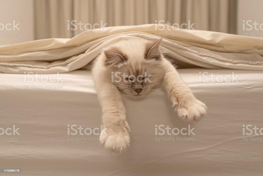 Blanco cat de dormir en ropa de cama blanca - foto de stock