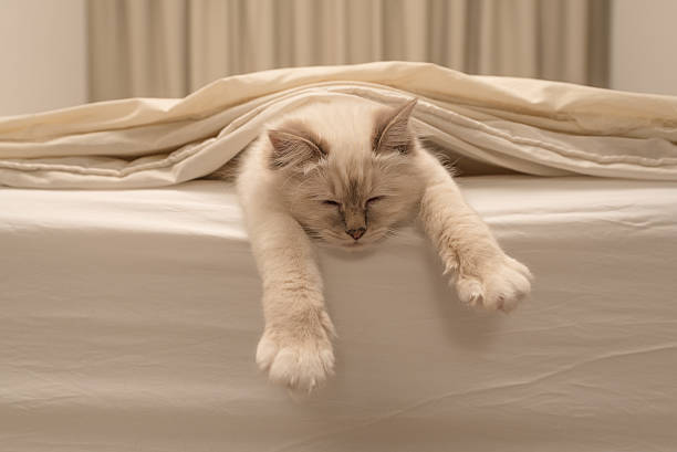 pure white cat sleeping on white bedding - otämjd katt bildbanksfoton och bilder