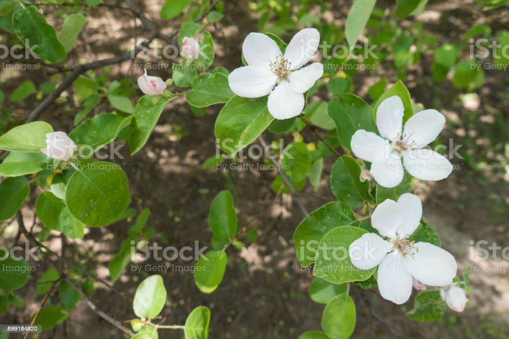 Pure white flowers of Cydonia oblonga in spring stock photo