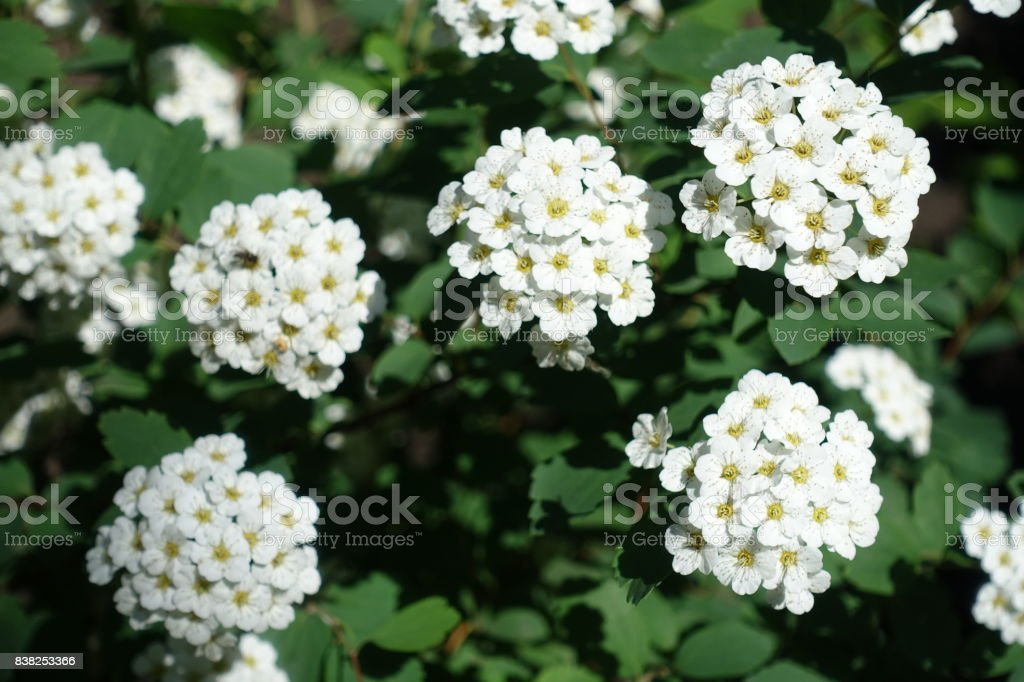 Pure white flowers of spirea in spring stock photo more pictures pure white flowers of spirea in spring royalty free stock photo mightylinksfo