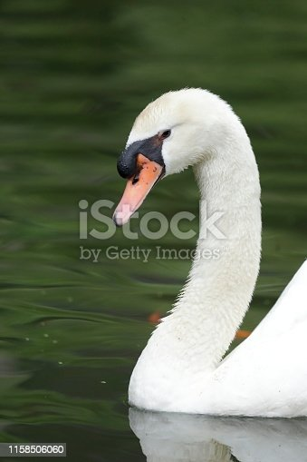 Nice swan swimming in the lake in the tropical garden of the island of Madeira, Portugal