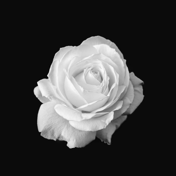 Pure White Rose Flower Black and White stock photo