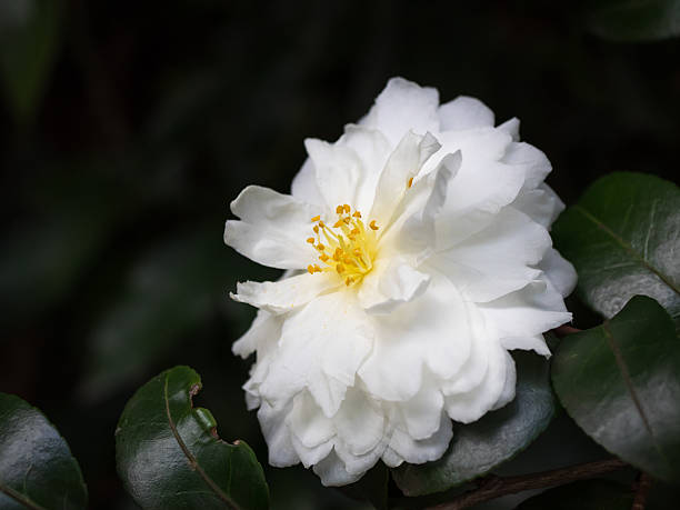 Pure white sasanqua im winter garden of Japan – Foto