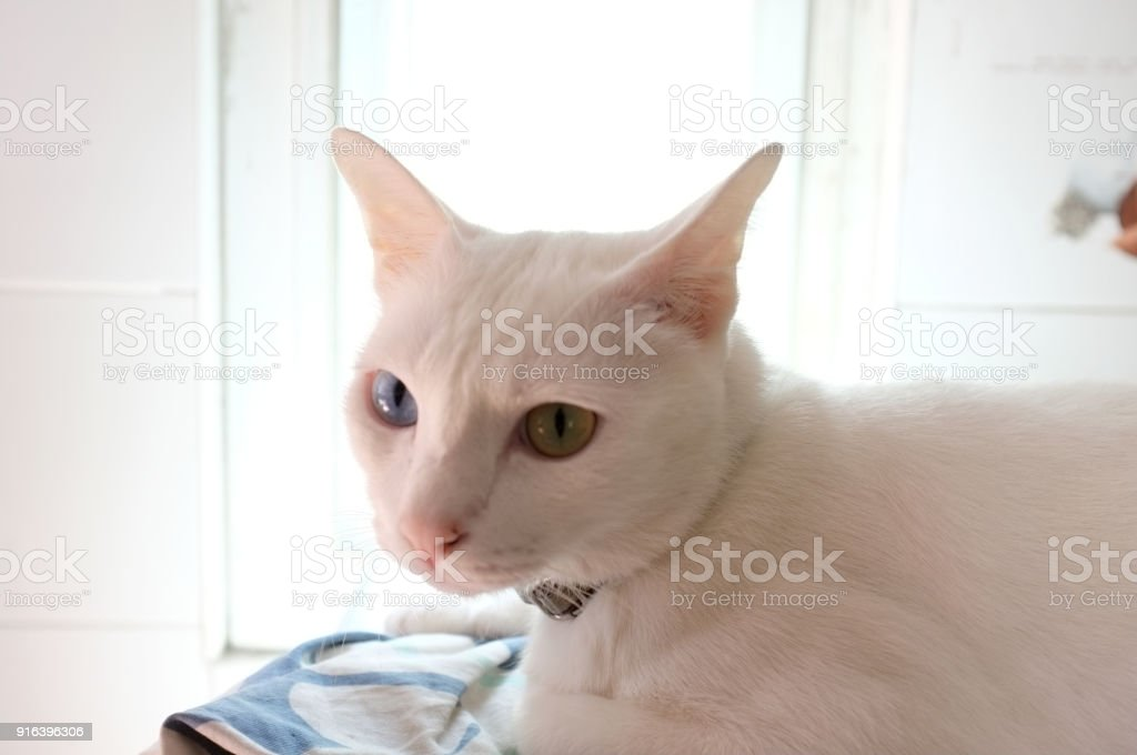 Pure White Siamese Cat Stock Photo Download Image Now Istock