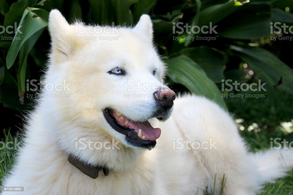 Pure White Siberian Husky Dog With Blue Eyes Close Up