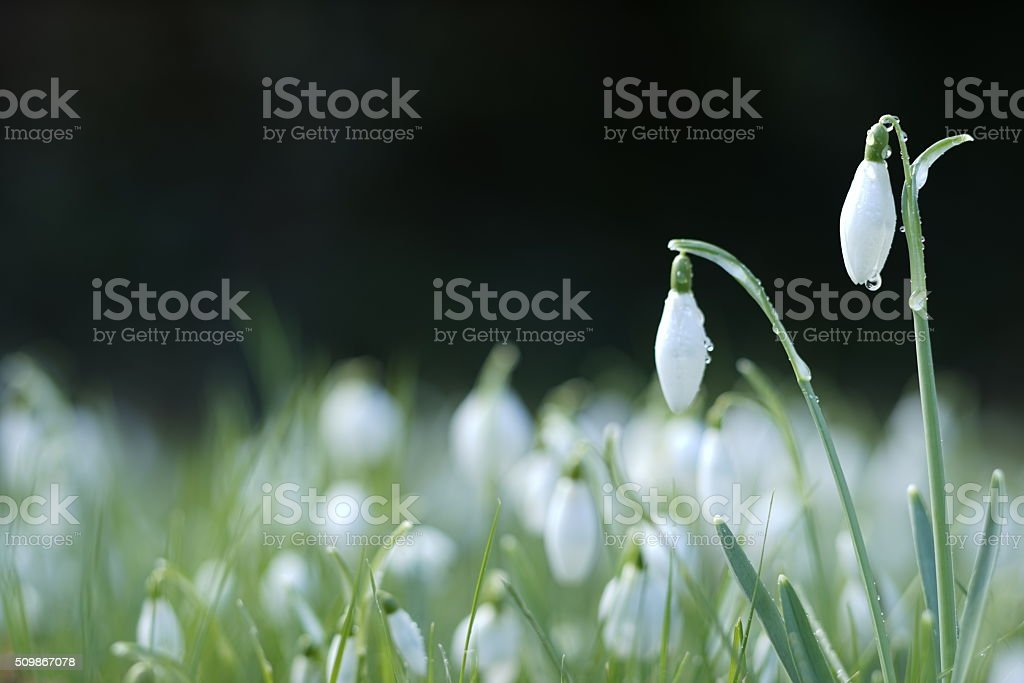 Pure white snowdrops against a dark background stock photo