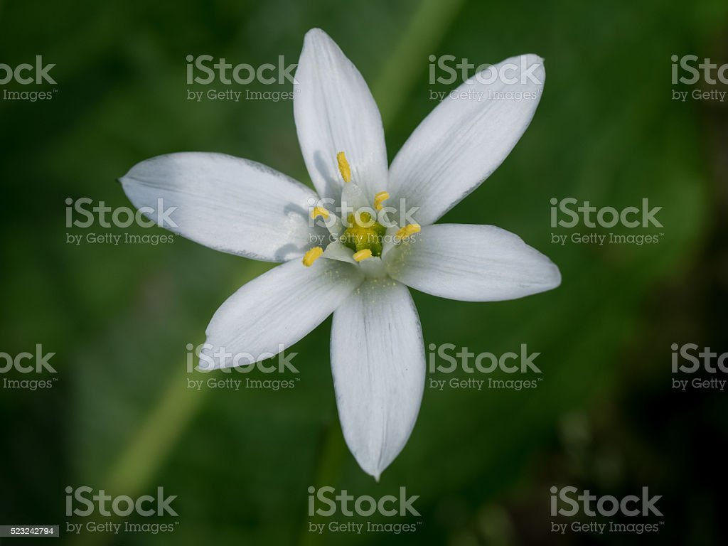 Pure white Star of Bethlehem blooming stock photo