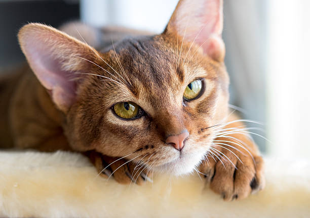 276 Blue Abyssinian Cat Stock Photos Pictures Royalty Free Images Istock