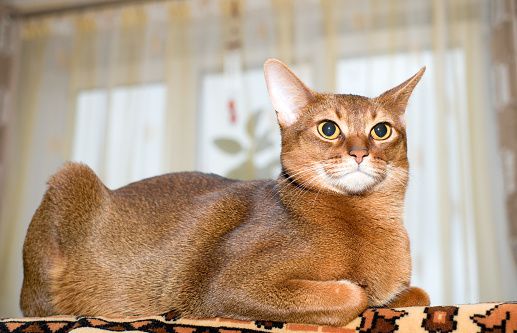 Purebred abyssinian cat