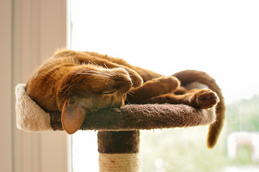 Purebred abyssinian cat sleeping on scratching post