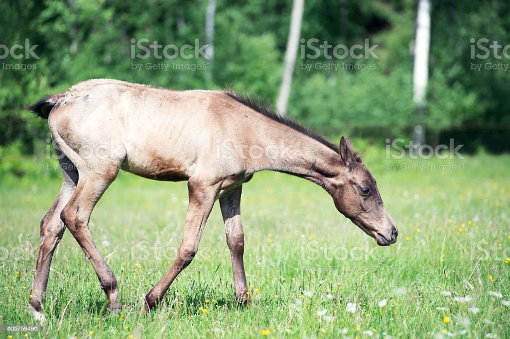purebred akhal-teke foal in the pasture stock photo