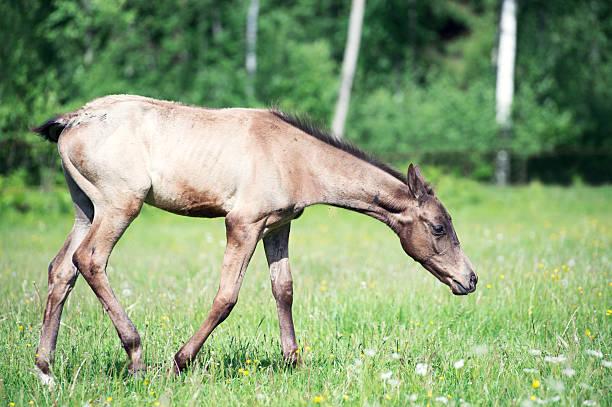 purebred akhal-teke foal in the pasture - akhal teke stock-fotos und bilder
