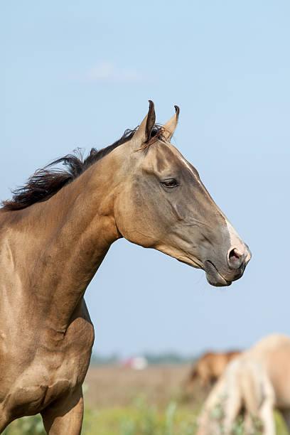 reinrassige achal-tekkiner pferd porträt - akhal teke stock-fotos und bilder
