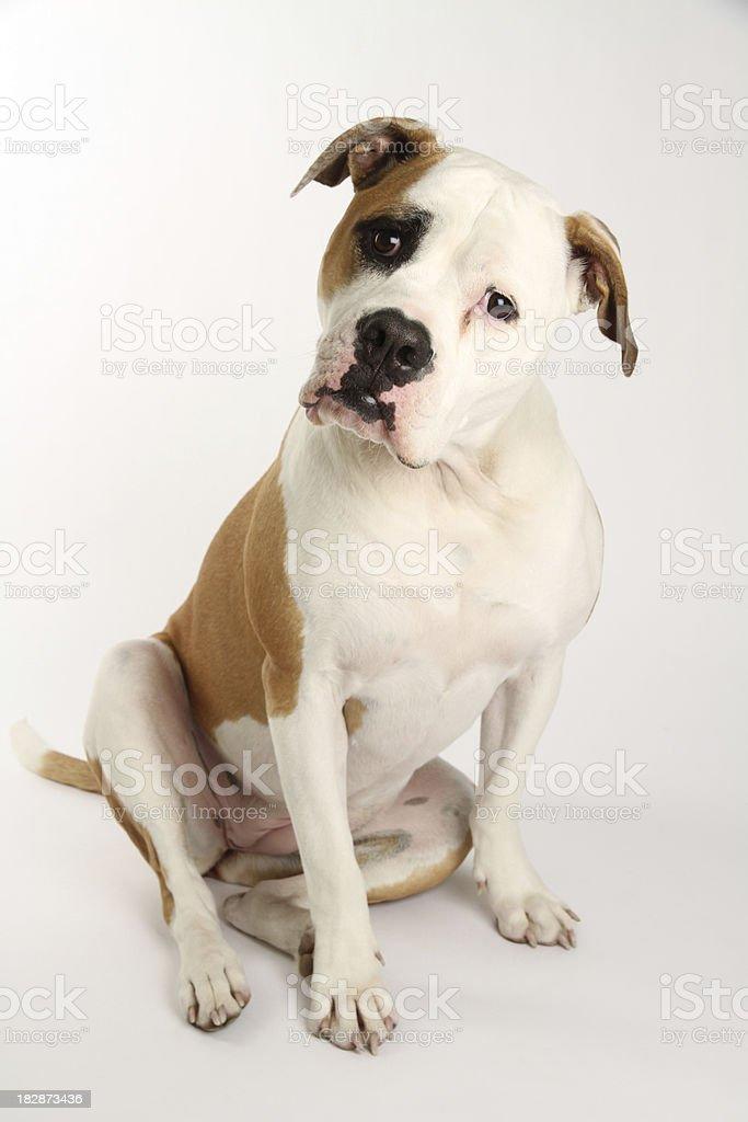 Purebred American Bulldog stock photo
