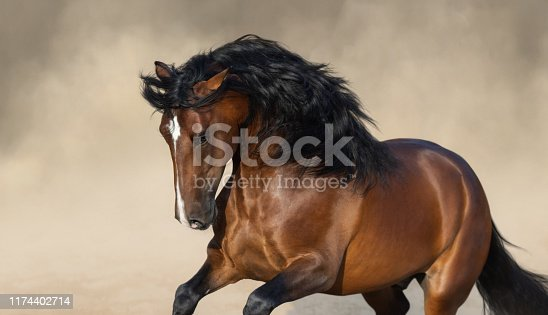 Bay Purebred Andalusian horse playing on sand.