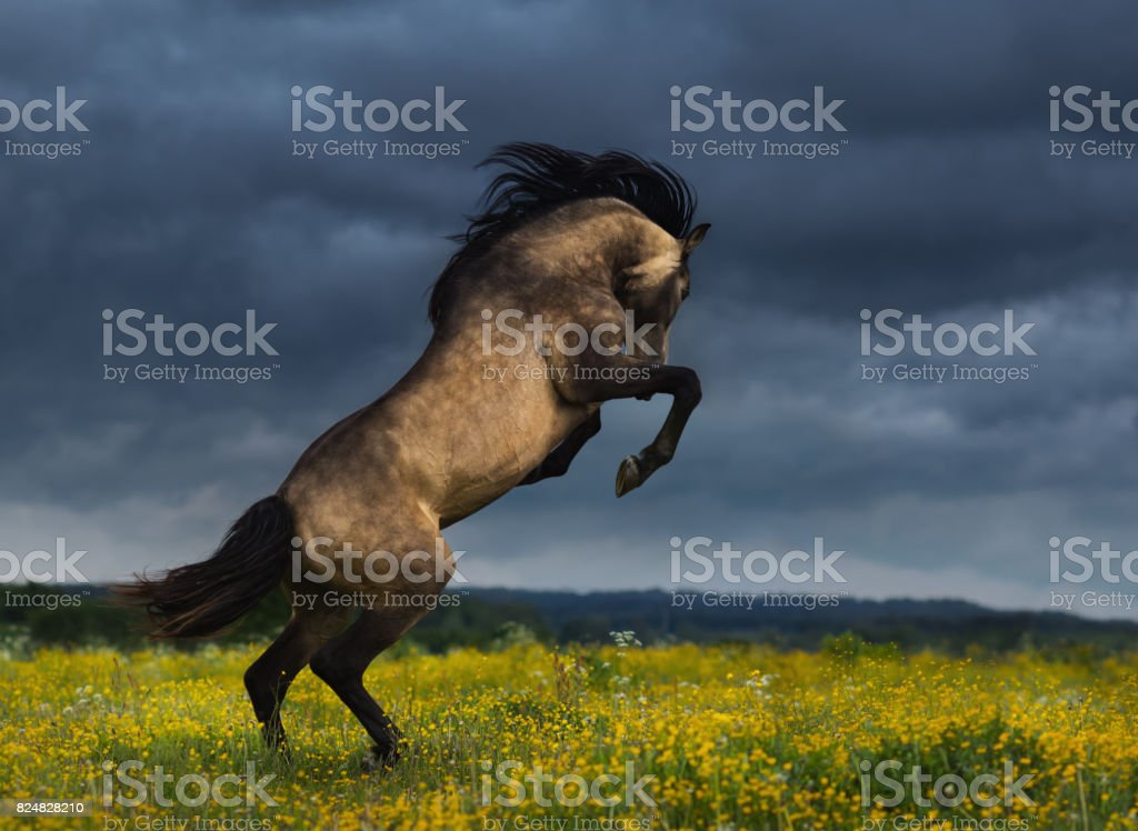 Purebred Andalusian horse rear on meadow with dramatic overcast skies stock photo