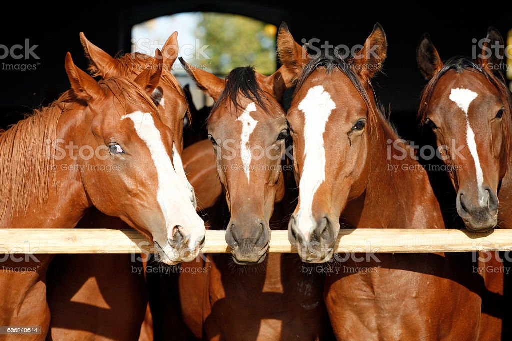Purebred anglo-arabian chestnut horses standing at the barn door stock photo