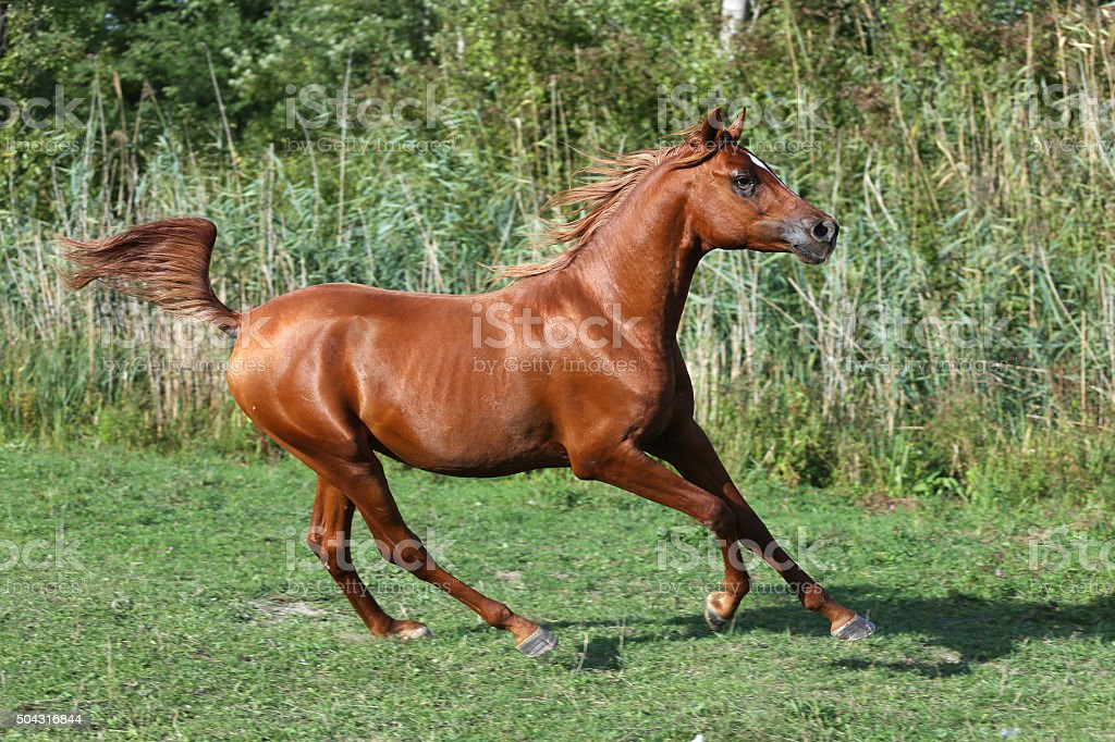 Purebred Arabian Horse Galloping Across A Green Summer Pasture Stock Photo Download Image Now Istock