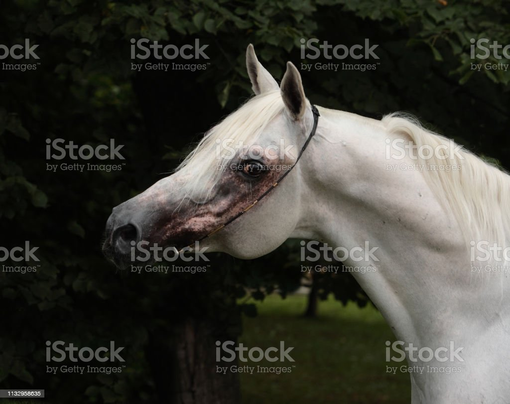 Purebred Arabian Horse Portrait Of A Grey Mare With Jewelry Bridle Stock Photo Download Image Now Istock