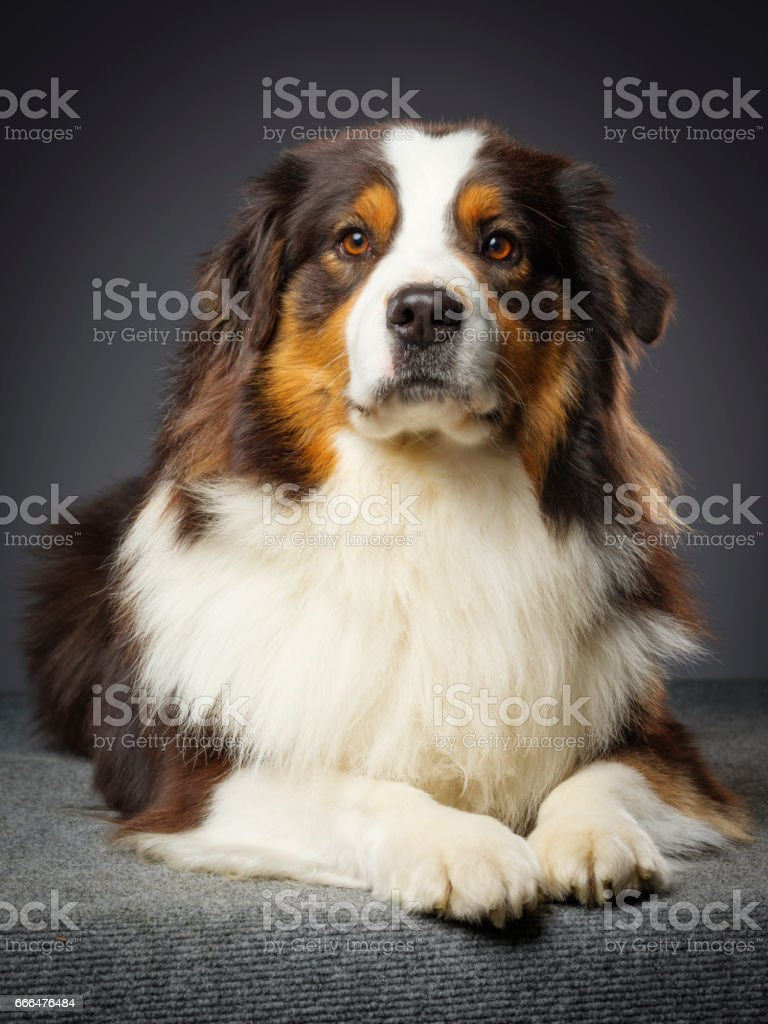 Purebred Australian Shepherd Dog stock photo