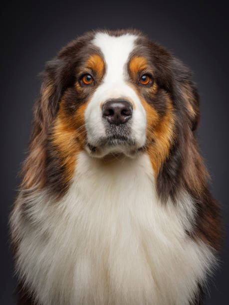 Purebred Australian Shepherd Dog A close-up of a purebred Australian Shepherd dog looking directly at the camera. australian shepherd stock pictures, royalty-free photos & images