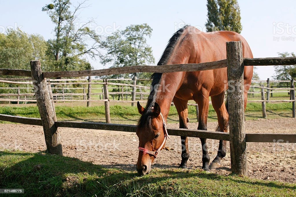 Purebred bay horse stands in summer corral stock photo