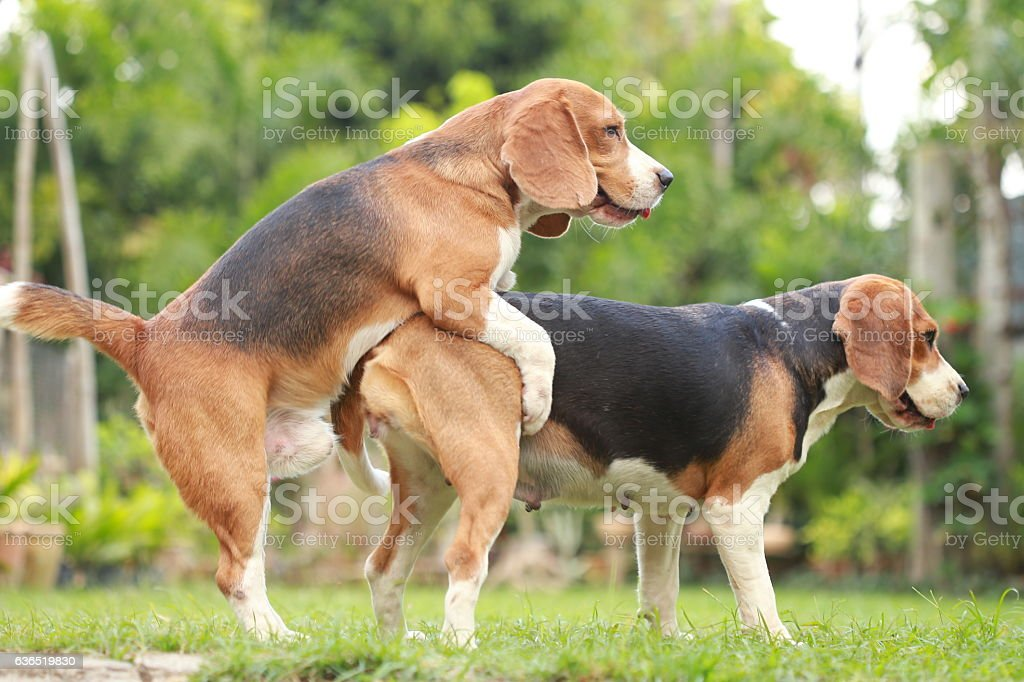 purebred beagle dog making love and sex stock photo