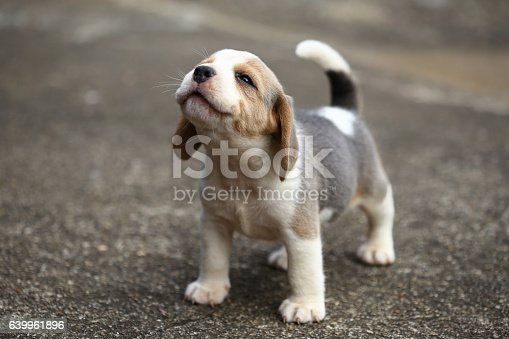 istock purebred beagle puppy is learning the world in first time 639961896