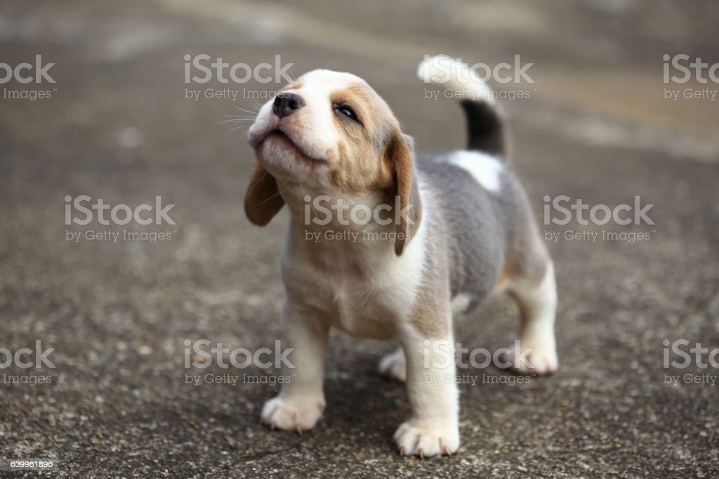 purebred beagle puppy is learning the world in first time - foto de stock
