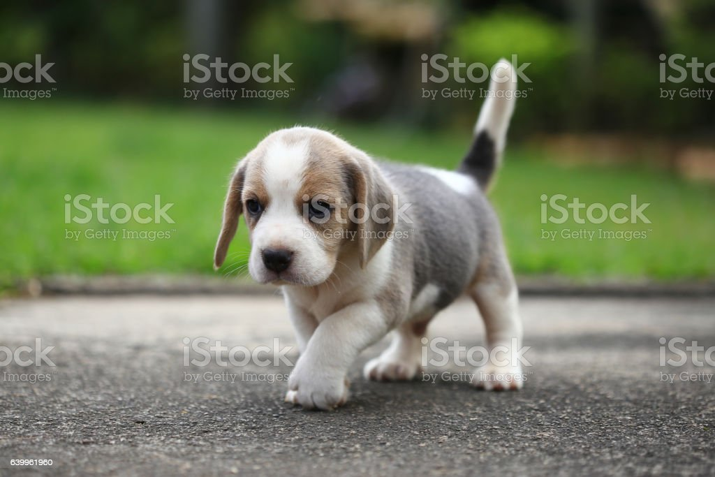 Purebred Beagle Puppy Is Learning The World In First Time Stock Photo Download Image Now Istock