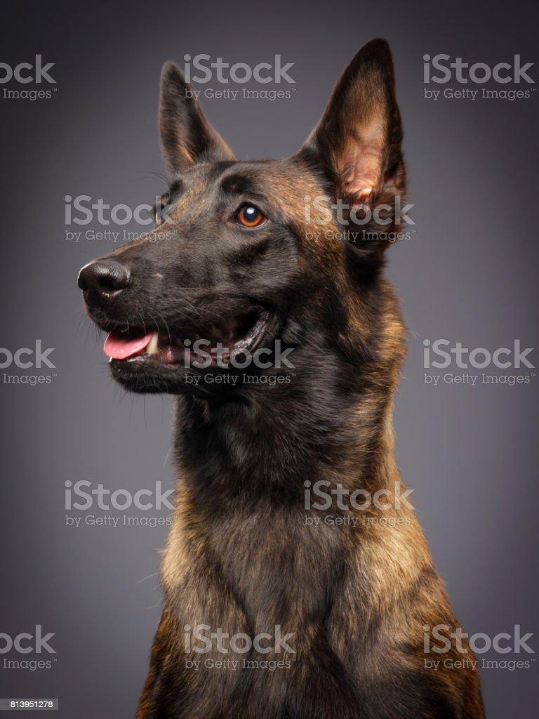 Purebred Belgian Malinois Dog stock photo