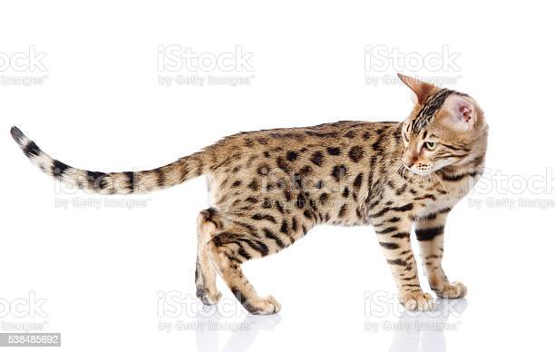 Purebred bengal cat isolated on white background picture id538485692?b=1&k=6&m=538485692&s=612x612&h=hrfbr2cvepniddvr2eghi w8ox9si6tlghmhuuiew3w=