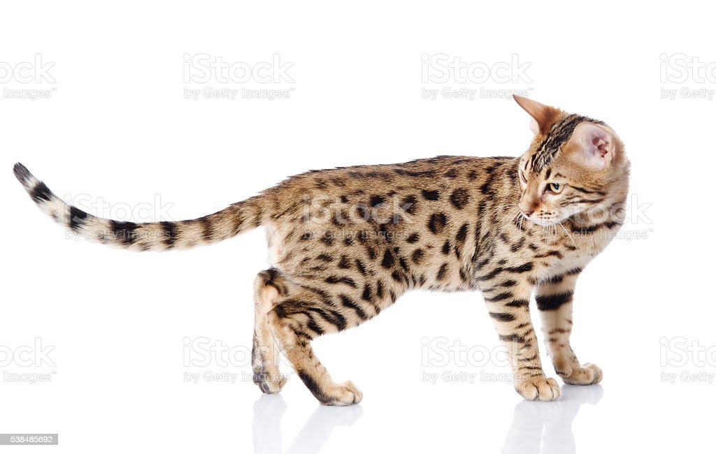 purebred bengal cat. isolated on white background stock photo